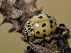 Harmonia quadripunctata - Photo of Peipin