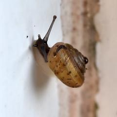 Empingham Snails (Hygromiidae)