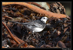 Bergeronnette de Yarrell (Motacilla alba yarrellii)