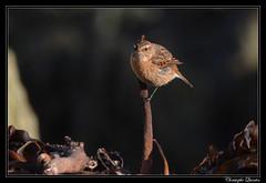 Tarier Pâtre (Saxicola rubicola) femelle
