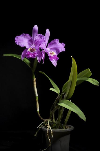 Photo:Cattleya lueddemanniana 'Paul Drago' Rchb.f., Xenia Orchid. 1: 29 (1854) By sunoochi