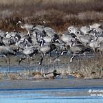 Grullas en la laguna del Longar de Lillo (Toledo) 28-12-2020