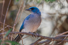 Mexican Jay in Chiricahua National Monument
