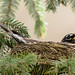 Nesting American robin; various poses and behaviours (Image 21)