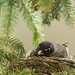 Nesting American robin; various poses and behaviours (Image 13)