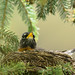 Nesting American robin; various poses and behaviours (Image 15)