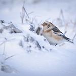 Snow Bunting, sněhule severní, CZE, 2020