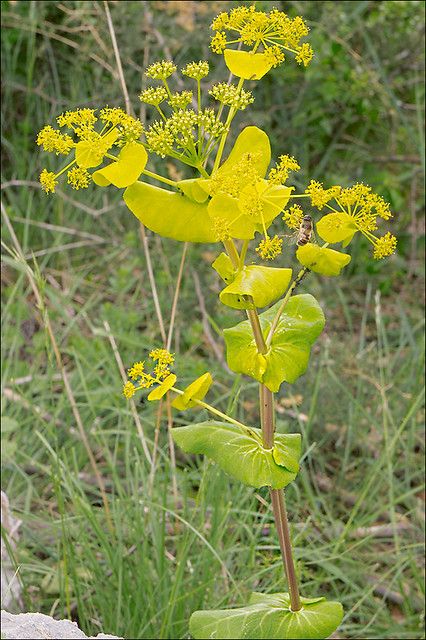 Photo:Smyrnium-perfoliatum_12 By amadej2008