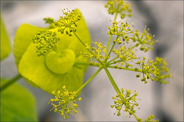 Photo:Smyrnium-perfoliatum_15 By amadej2008