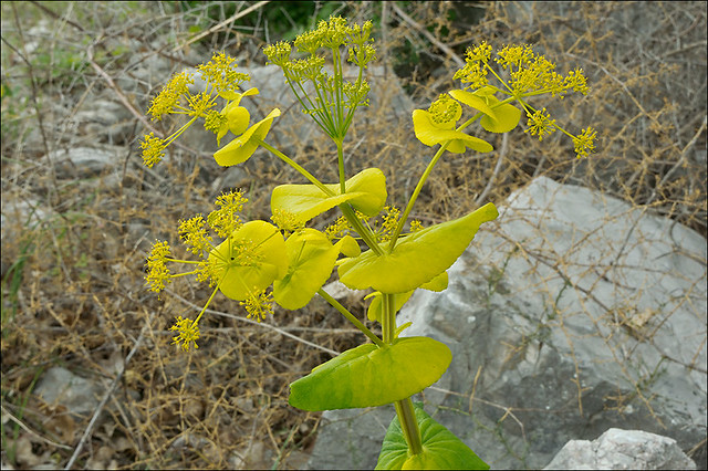 Photo:Smyrnium-perfoliatum_14 By amadej2008