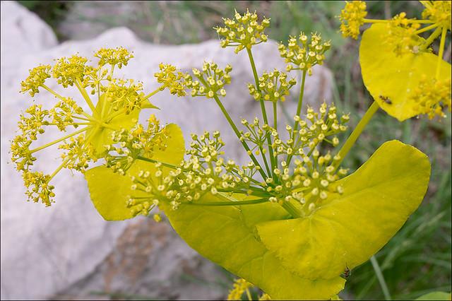 Photo:Smyrnium-perfoliatum_10 By amadej2008