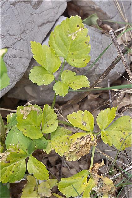 Photo:Smyrnium-perfoliatum_16 By amadej2008