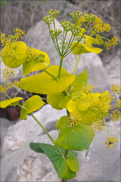 Photo:Smyrnium-perfoliatum_11 By amadej2008