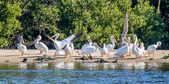 White Pelican Landing 3rd from Left Just Released After Rehabbing at Seaside Seabird Sanctuary
