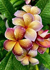 Musk Rainbow aka George Brown Plumeria