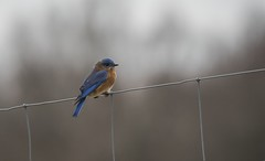 New Year's Day Eastern Bluebird