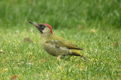 Pivert / Green woodpecker