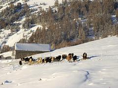 La ferme des yacks