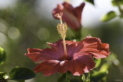 Gorgeous Glowing Radiant Redolent Pretty Pink Hot Hibiscus - IMRAN™