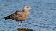 Herring Gull (immature)- Hudson Beach