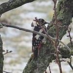 Buntspecht Männchen am Baum