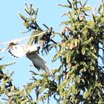 Revierkampf um Nest