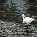 淡水河的水鳥