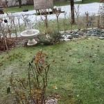 Erlenzeisige im Garten