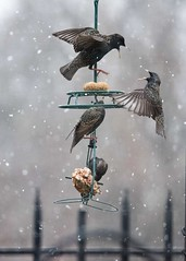 Starlings  First snow 2021