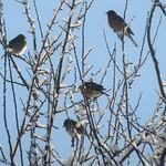Buchfinken
