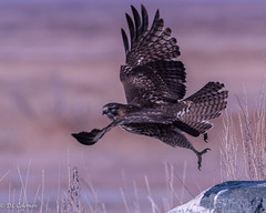 Red-tailed Takeoff