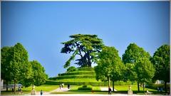 Cèdre du liban au parc Michel d'Ornano
