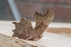 Butterflies 2021