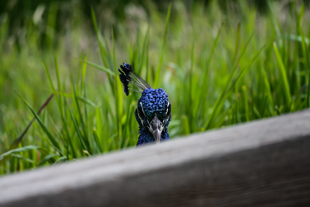 Photo:Peacock 2011 02 18 32 By davidseibold