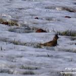 Aves en las lagunas de La Guardia (Toledo) 16-1-2021