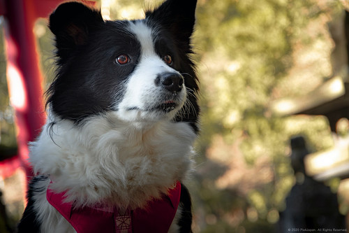 Border Collie at Shrine