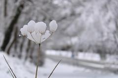 Fleur_délicate