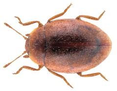 Rhyzobius chrysomeloides (Herbst, 1792)