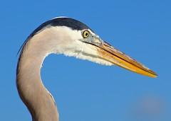 Great Blue Heron 18/365