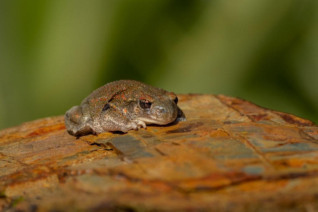 Iberian Midwife Toad