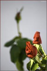 Morning Rose Bunch As Sun Rose - IMRAN™