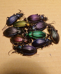 Necklace Ground Beetles (Carabus monilis) colorful variety ...