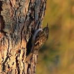 Gartenbaumläufer – Certhia brachydactyla