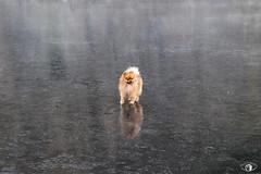 Un petit chien sur l'eau gelée - Canal de la Moselle