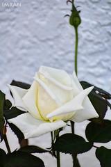 White Rose On White Wall Of White House - IMRAN™ (Nikon D850)