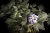 Photo:Anemonastrum keiskeanum #201202 (T.Itô ex Maxim.) Mosyakin, Phytoneuron 2018-55: 3 (2018). By sunoochi