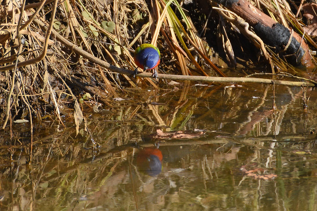 Photo:Painted Bunting 12 - Looking at Reflection - Cropped By Amaury Laporte