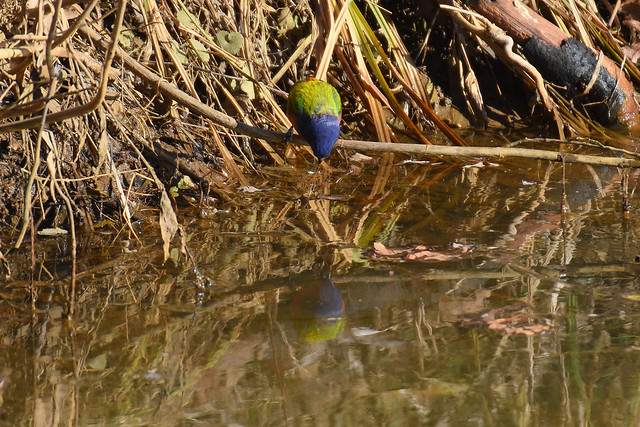 Photo:Painted Bunting 18 - Looking at Reflection - Cropped By Amaury Laporte