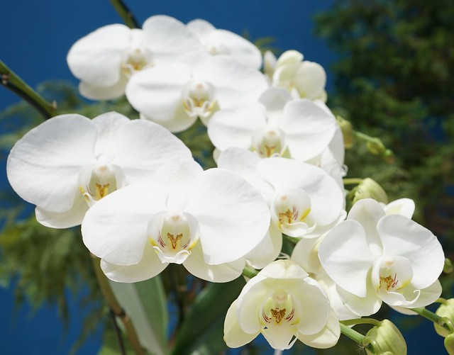Photo:White Large 'Phalaenopsis amabilis' Orchid at home. By ER's Eyes - Our planet is beautiful.