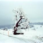 Cropped Tree  (Retina IIIC / Portra 400)